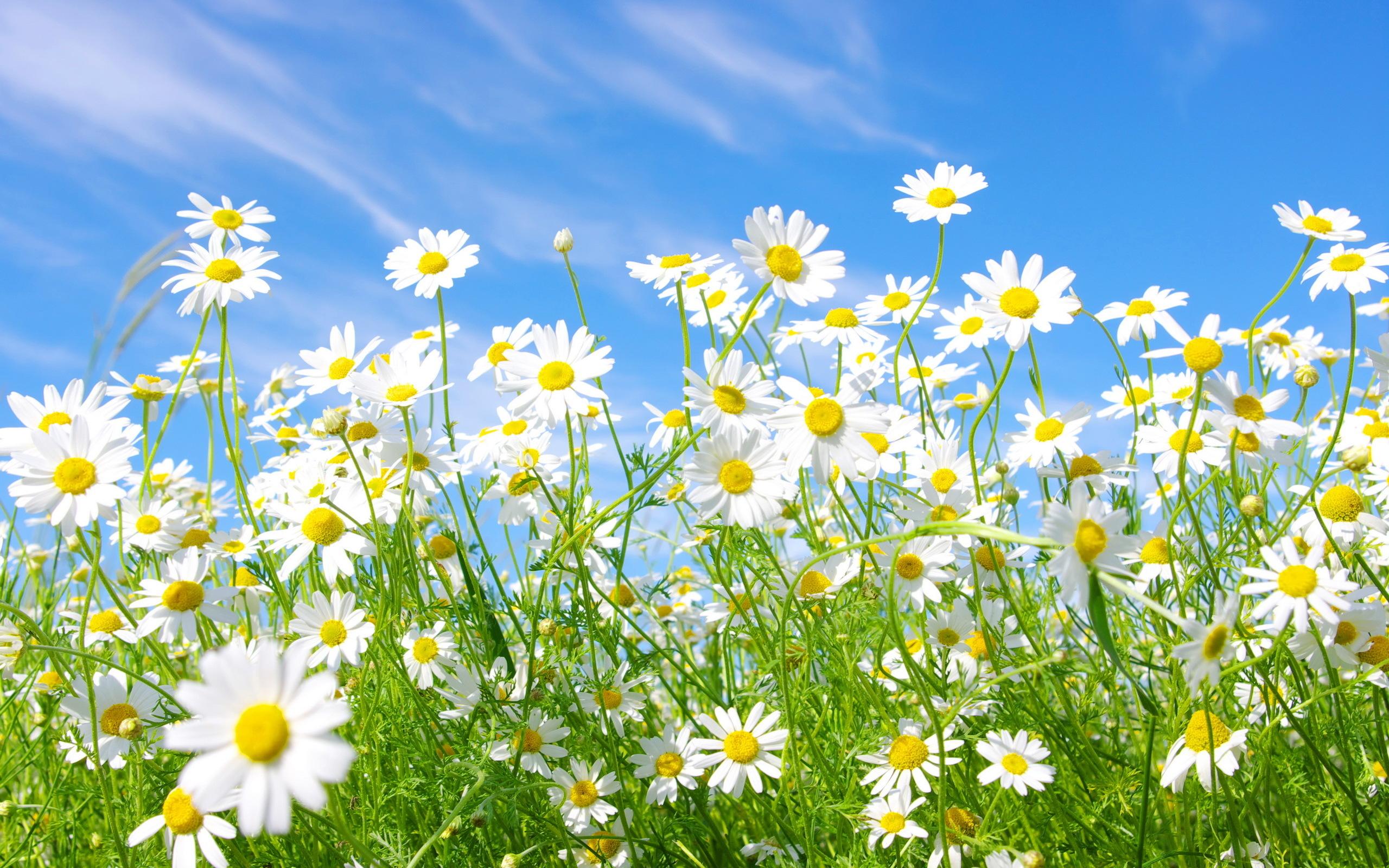 daisy meadow 2