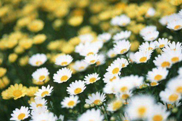 daisy meadow 3