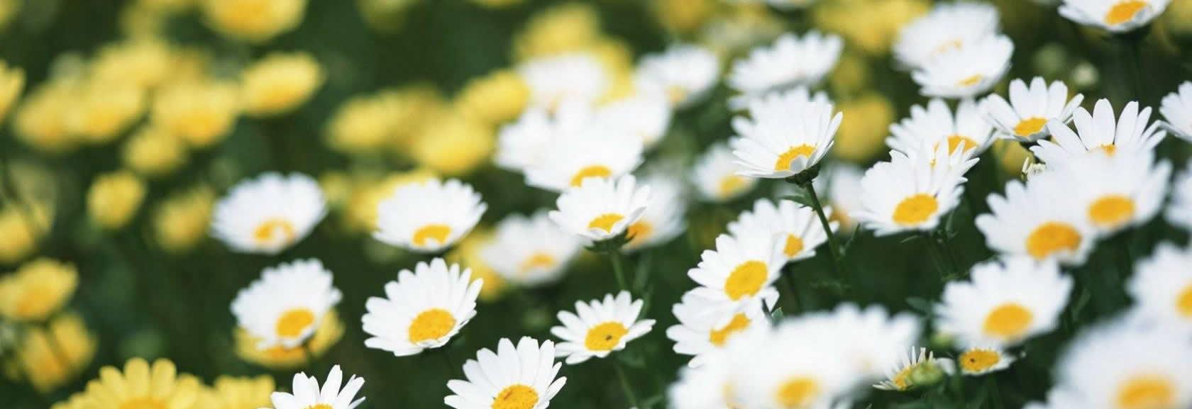 daisies header